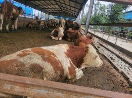 纯种西门塔尔牛牛犊 肉牛养殖基地牛羊养殖场批发活牛 肉牛 牛犊