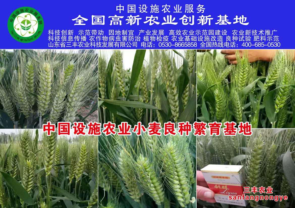 优质小麦图片/优质小麦样板图 (1)