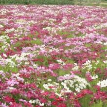 供应波斯菊花卉种子