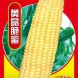 黄色水果玉米种子