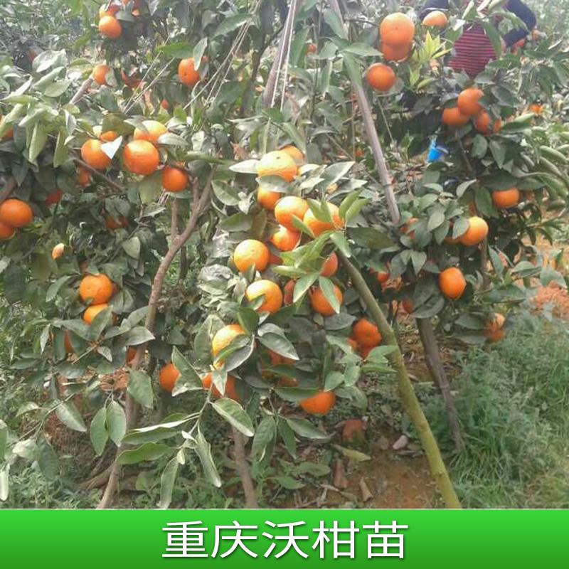 沃柑苗批发 嫁接果苗沃柑苗橘子树柑桔种苗