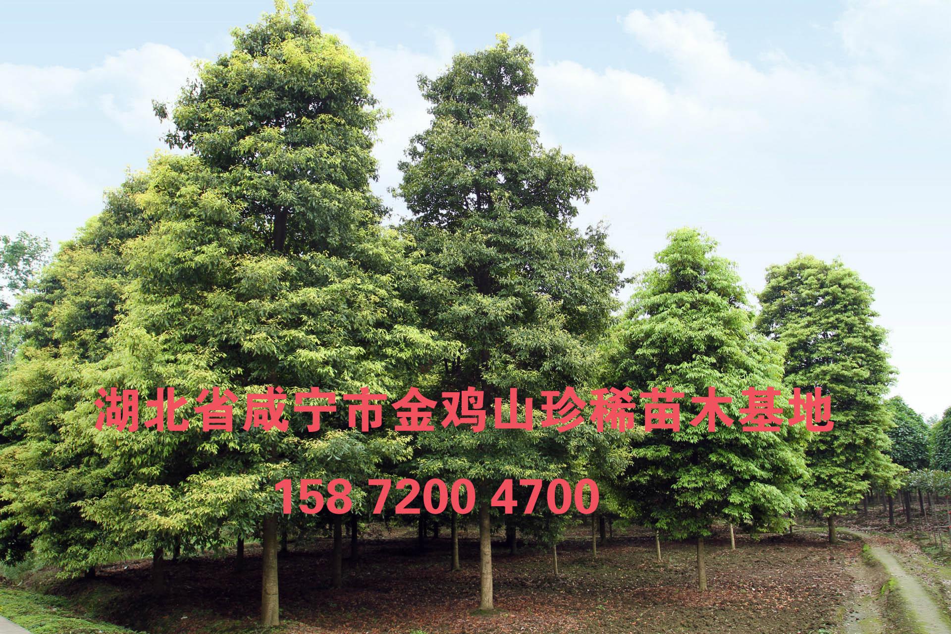 金丝楠木树苗图片|金丝楠木树苗样板图|金丝楠木树苗