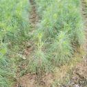 福建湿地松育苗批发价格 湿地松育苗专业生产价格