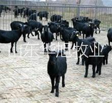 供应大同白山羊养殖技术,白山羊哪里最便宜白山羊养殖场