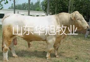供应 山东华旭养殖基地纯种肉牛肉羊肉驴肉牛市场行情肉牛批发与加工