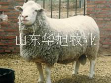 供应山西运城小尾寒羊种羊价格,小尾寒羊的养殖方法,小尾寒羊的市场价值