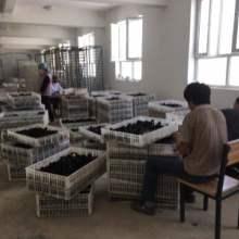 新疆和田尼雅黑鸡鸡苗,和田尼雅黑鸡鸡苗批发,尼雅黑鸡鸡苗养殖