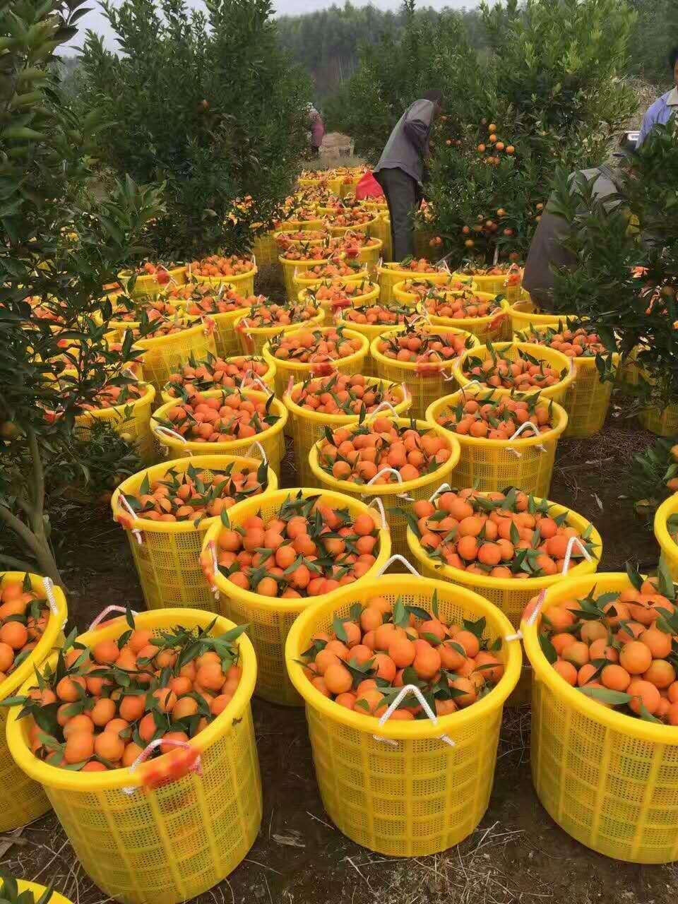 广西无菌无毒东方红橘苗 东方红橘苗种植  广西东方红橘苗
