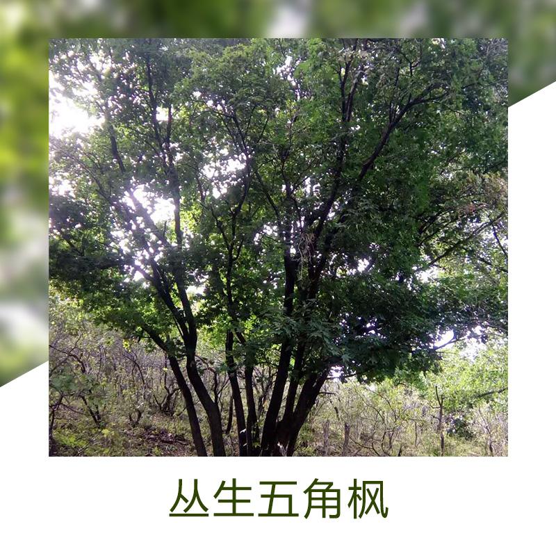 丛生五角枫绿植销售