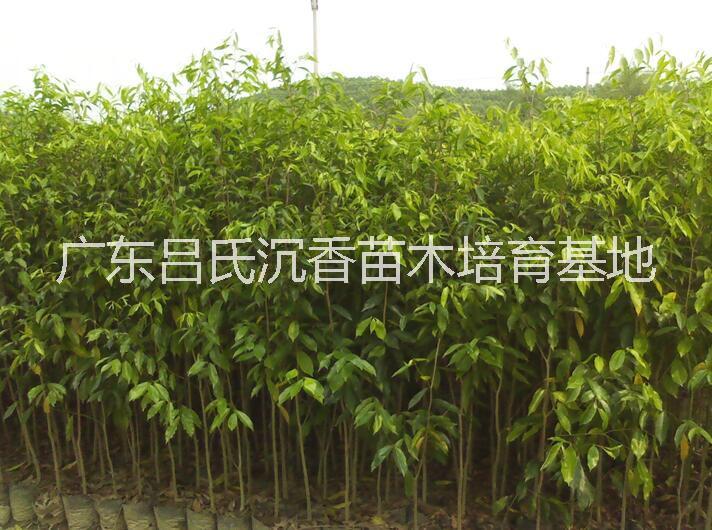 广东野生沉香树批发⒈沉香树苗多少钱一棵