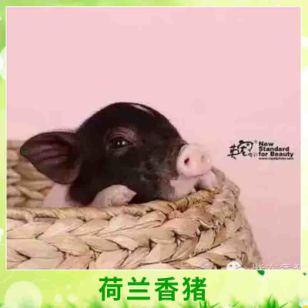 天台紫东香猪供应荷兰香猪 两头乌迷你小香猪宠物猪小型香猪养殖种苗