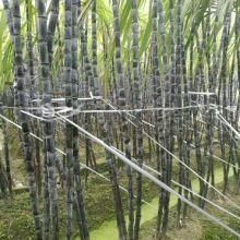 厂家批发黑皮甘蔗种苗 广西黑皮甘蔗种苗 广西黑皮甘蔗
