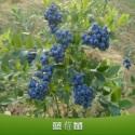 蓝莓苗出售图片