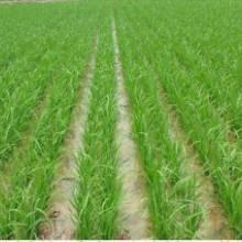 安徽巢湖水稻