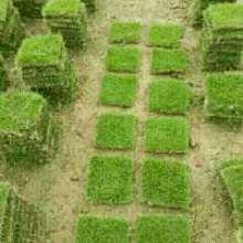 湖南马尼拉草坪 优质马尼拉草坪 马尼拉草坪供应 马尼拉草坪报价批发
