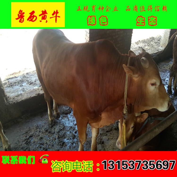 鲁西黄牛 肉牛犊价格 黄牛养殖场