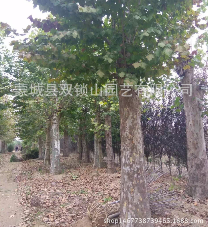 青桐树苗梧桐苗 青桐树工程用苗2年生苗,高度1.5米-2米
