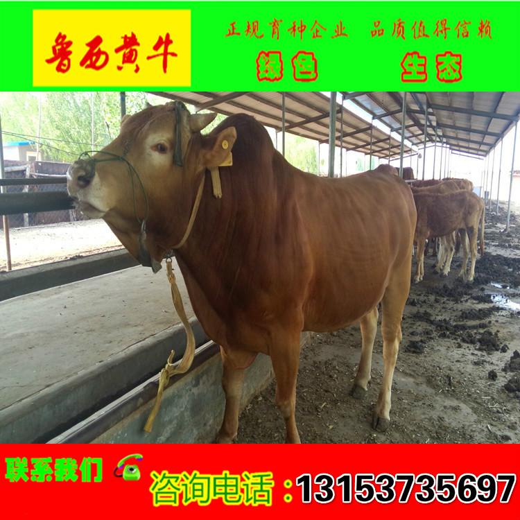 肉牛_鲁西黄牛_西门塔尔牛养殖场肉牛价格_