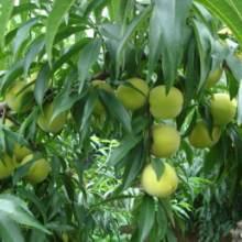 供应黄桃苗,黄桃苗种植基地,优质黄桃苗,黄桃苗价格