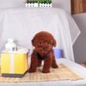 纯种茶杯玩具泰迪熊犬 贵宾犬图片