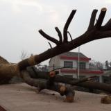 20cm骨架香樟