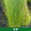 水草植物图片