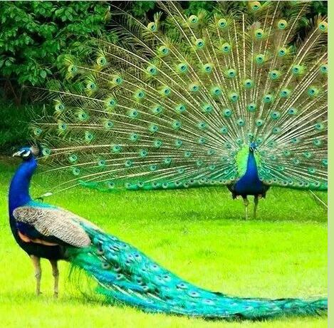 江西孔雀养殖 江西蓝孔雀养殖