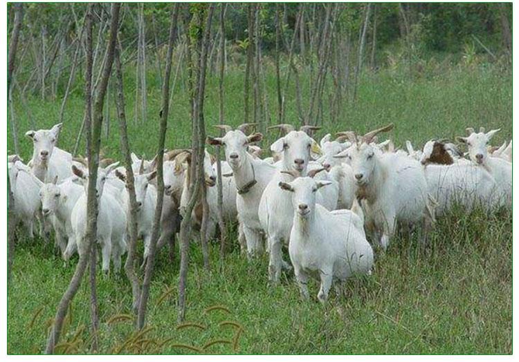 山东小尾寒羊价格报价 小尾寒羊养殖场 小尾寒羊养殖技术小尾寒羊