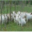 哪里有卖波尔山羊图片