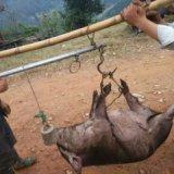 报价供应 种猪产地供应 南京香猪 报价