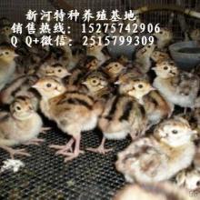 纯种野鸡苗 七彩山鸡商品野鸡出售纯种野鸡苗价格野鸡多少钱一斤纯种野鸡什么价格纯种野鸡图片