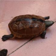 福建乌龟养殖技术图片
