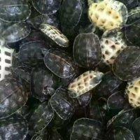 乌龟养殖场 中华草龟批发 草龟价格