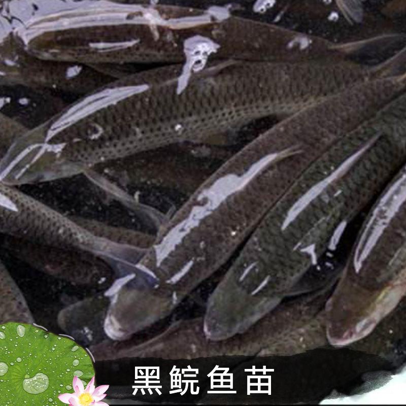 黑鲩鱼苗销售