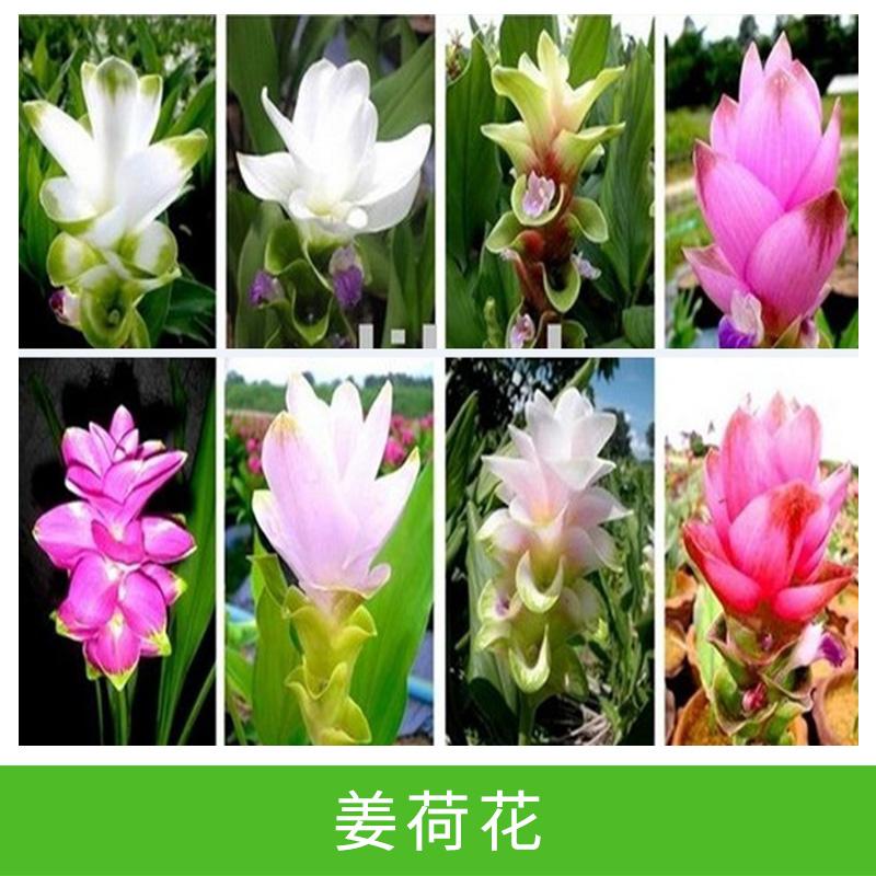 姜荷花基地 多年生草本热带球根花卉 地被植物直销