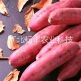 河北红薯烟薯14批发 衡水地瓜烟薯25苗批发
