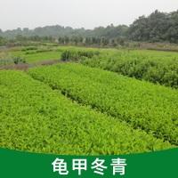 龟甲冬青批发采购 基地直销 花叶珊瑚 水蜡 品种齐全