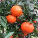 桂林091无核沃柑苗图片