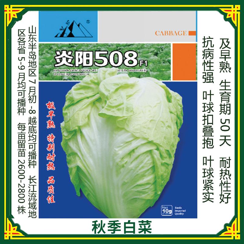 山东烟台蔬菜批发胶蔬秋季王 秋季白菜种苗  耐热 抗病早熟改良水果大白菜种子