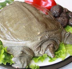 渔场养殖生态3年甲鱼食用王八中华销售