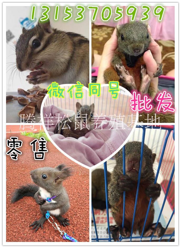 宠物松鼠松鼠价格松鼠养殖场哪里有卖松鼠