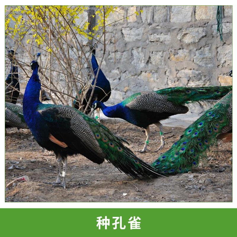 种孔雀养殖基地 农场直销种孔雀;孔雀苗;免费提供养殖孵化技术;运输包活