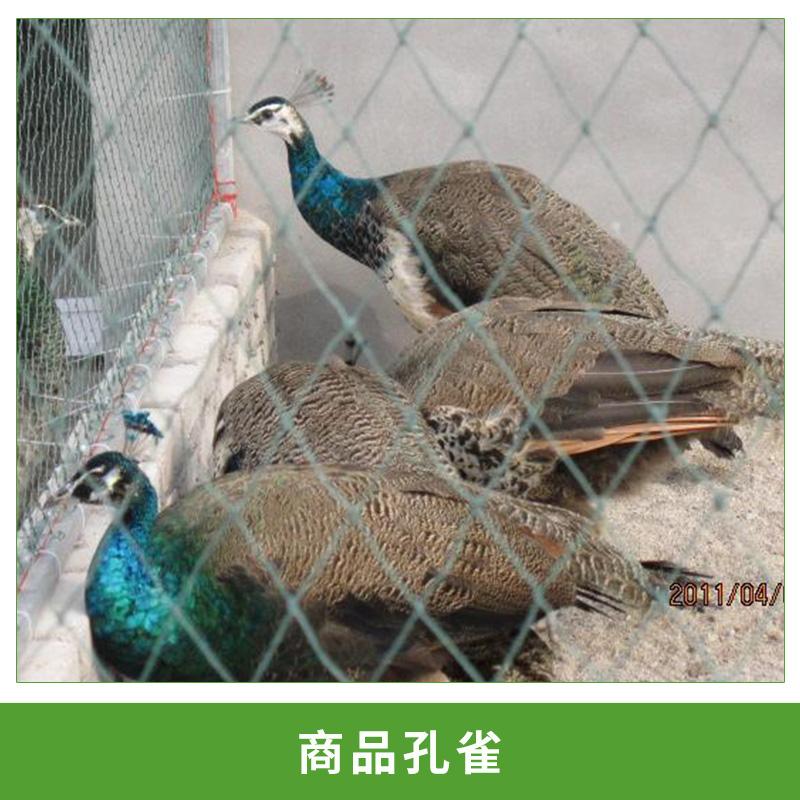 厂家热销产品蓝孔雀苗 商品孔雀活体观赏白孔雀标本优质孔雀苗