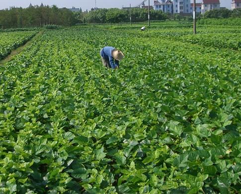 供应养殖蛋白桑苗树,蛋白果桑苗供应商,蛋白果桑苗价格