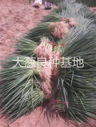 葱种子 钢葱种子 钢葱种子葱苗
