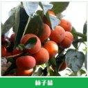 柿子苗销售图片