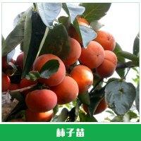 柿子苗销售 夕红甜柿 苗汁多味甜脆 果树苗 柿子树苗 新品种夕红甜柿树苗 欢迎来电订购