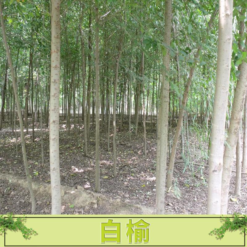 白榆 榆树造型盆景 白榆 榆树小苗工程绿化行道树榆树桩 欢迎来电咨询