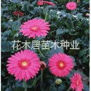 金盏菊种子图片