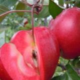 苹果苗 红肉苹果苗 红色之爱苹果苗 山西里外红苹果苗价格